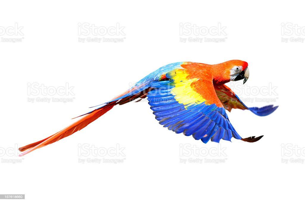 A scarlet macaw flapping its wings in flight stock photo