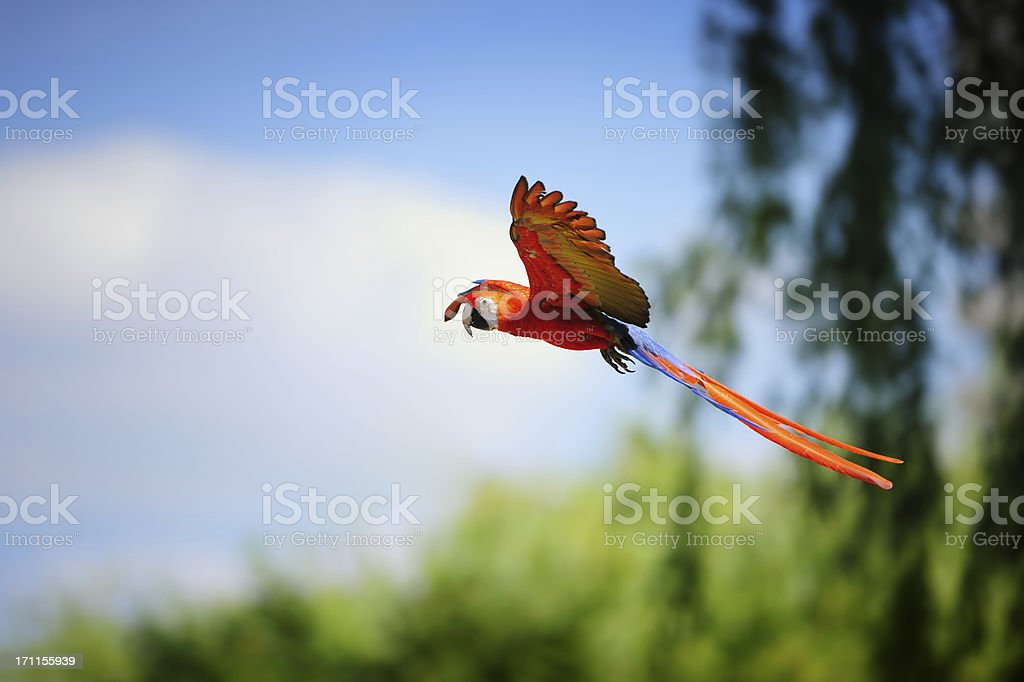 scarlet macaw in flight stock photo