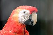 Scarlet macaw macaw close up