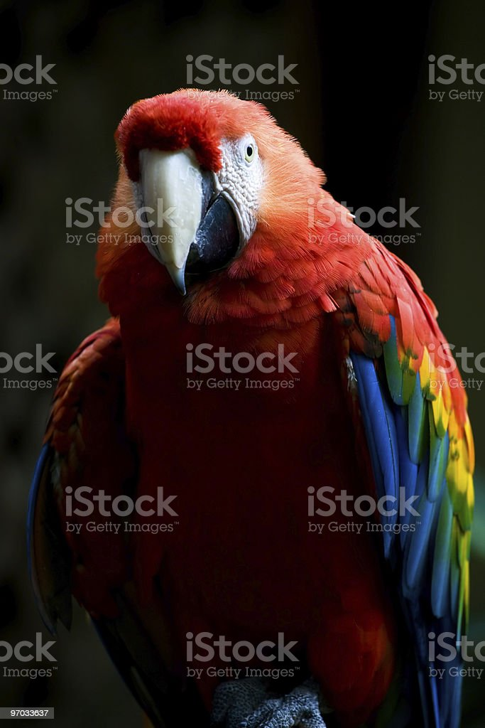Scarlet Macaw Parrot royalty-free stock photo