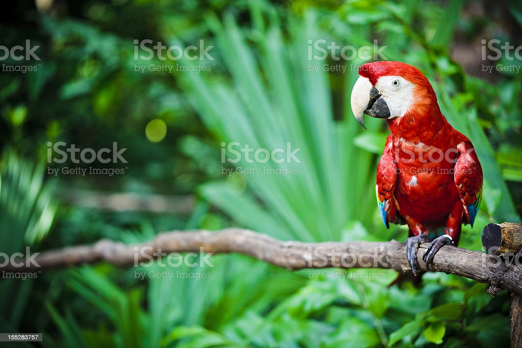 A scarlet macaw parrot sitting on a branch stock photo