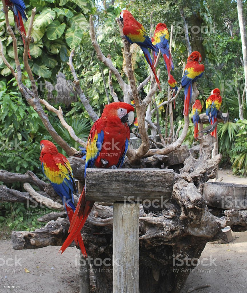 scarlet macaw parrots royalty-free stock photo