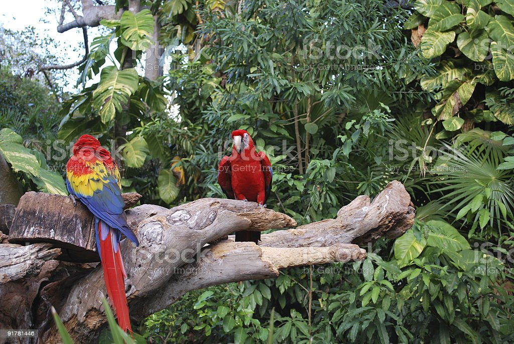 Scarlet Macaw parrots stock photo