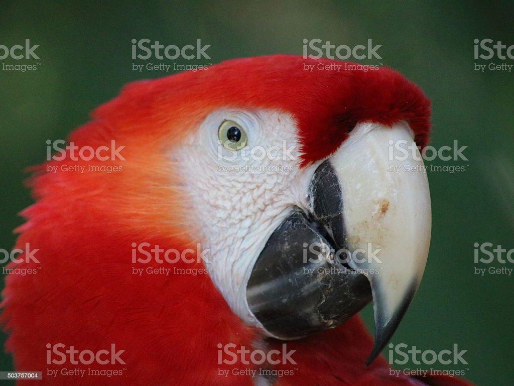 Ara rouge Vue de profil photo libre de droits