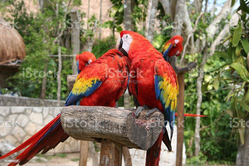 Scarlet Macaws couple stock photo