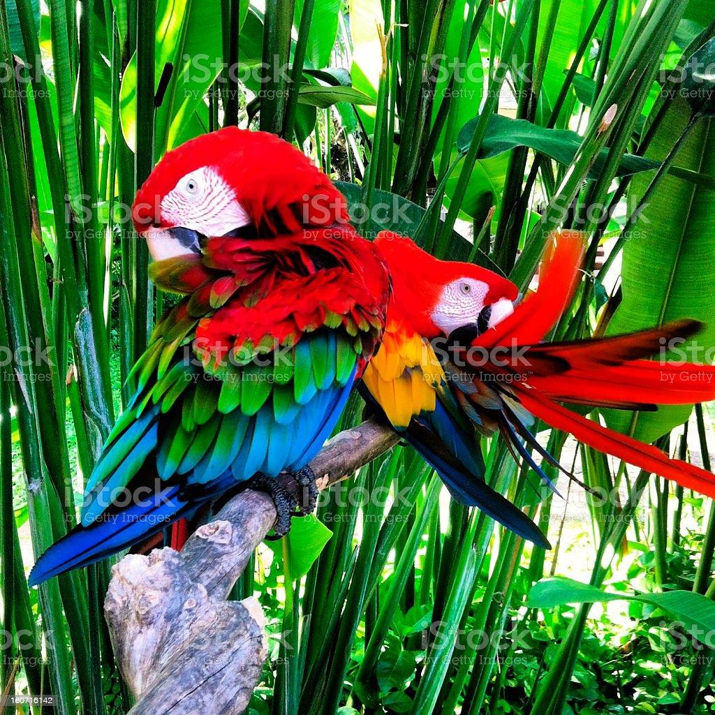 Scarlet macaws royalty-free stock photo