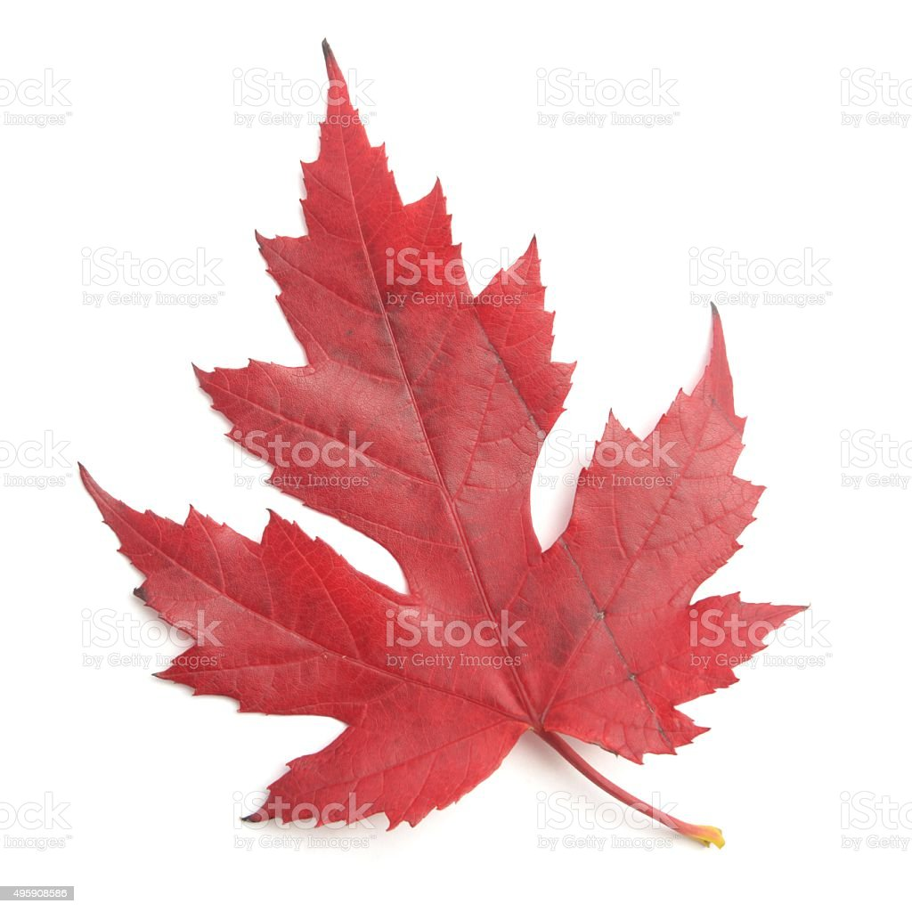 Scarlet maple leaf in Autumn colour stock photo