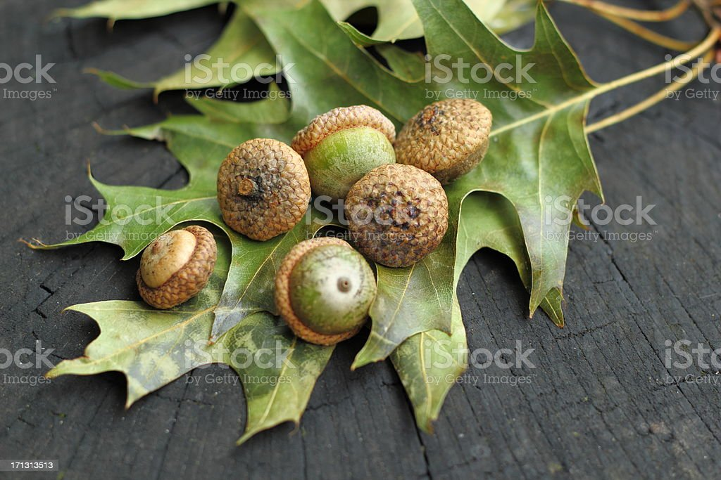 Scarlet Oak autumn composition stock photo