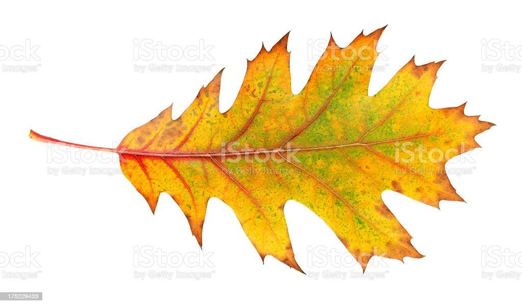 scarlet oak leaf royalty-free stock photo