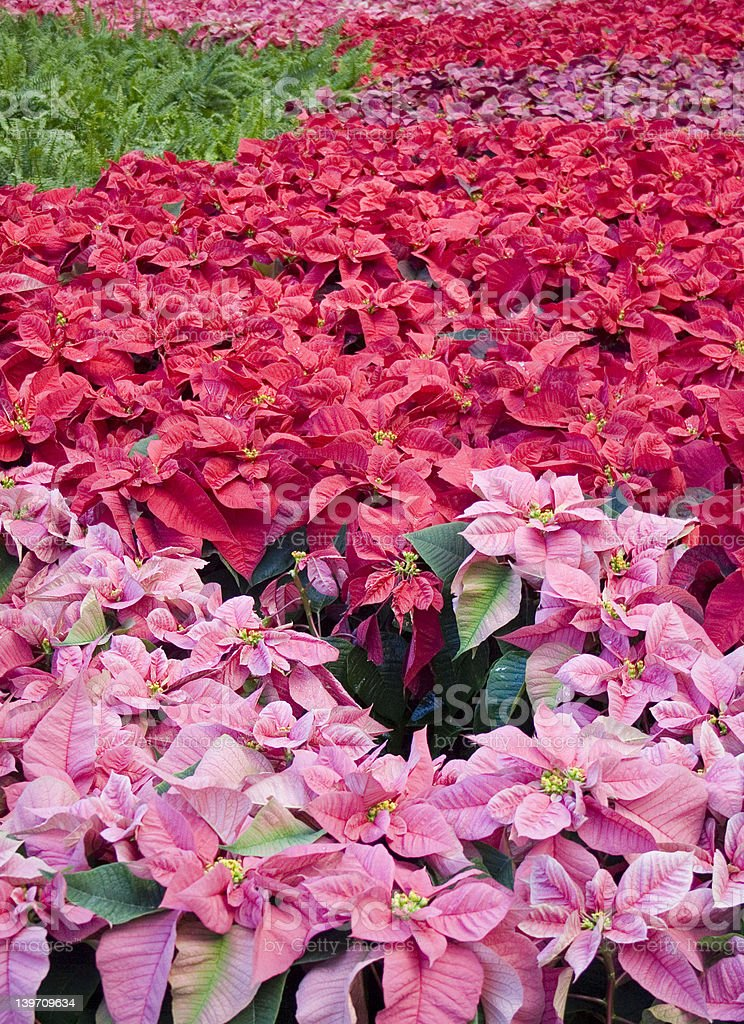 Scarlet Poinsettas in a row stock photo