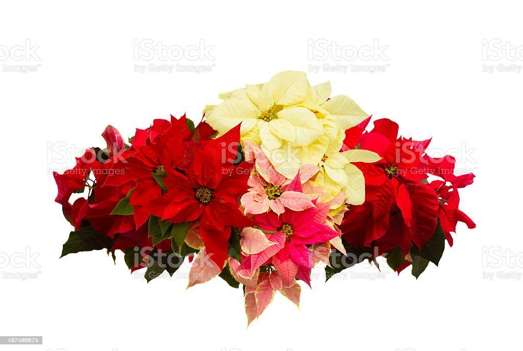 scarlet poinsettia flower or christmas star stock photo
