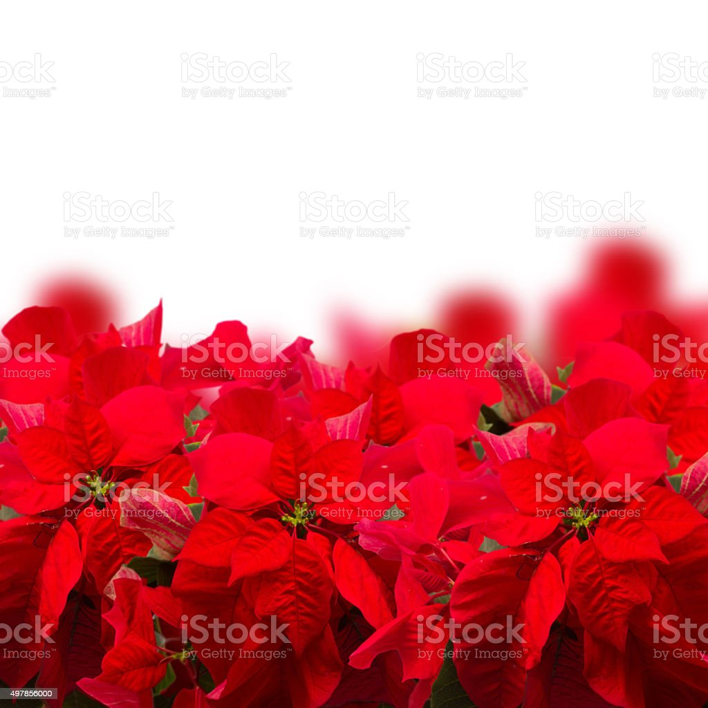 scarlet poinsettia flower or christmas star stock photo