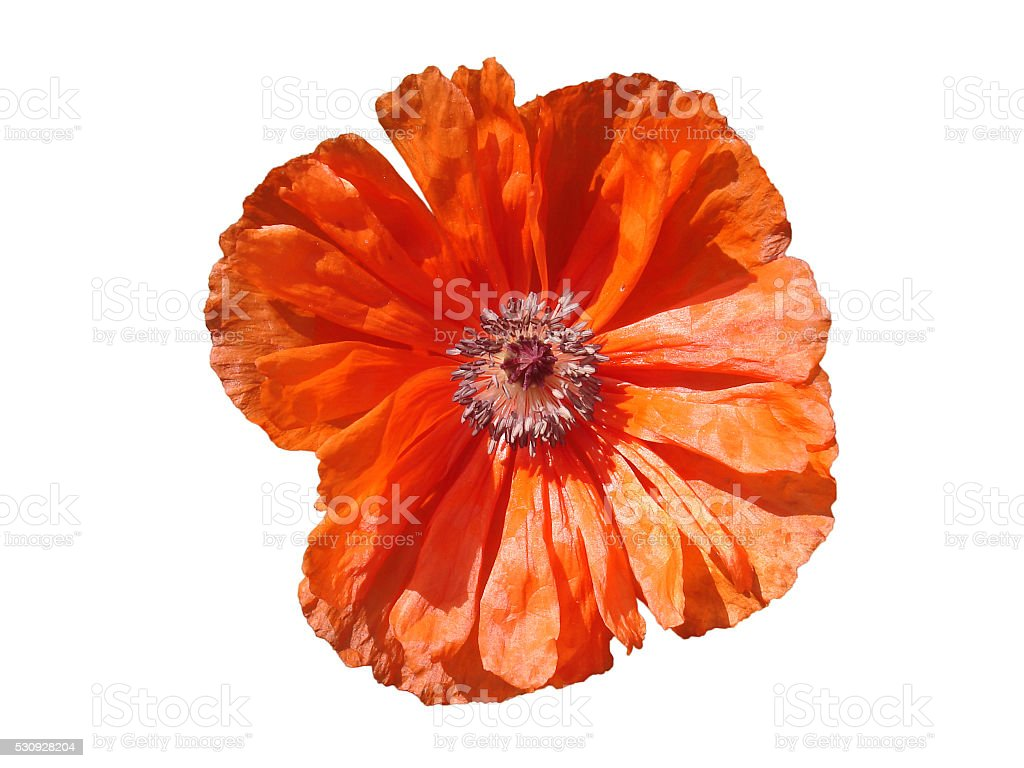 Scarlet poppy flower in a white background stock photo