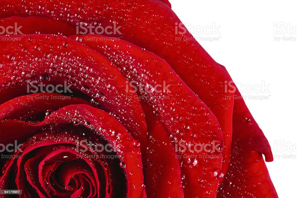 Scarlet rose in water drops stock photo