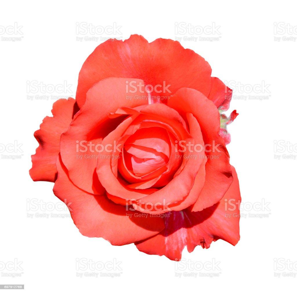 Scarlet rose isolated on white background. stock photo