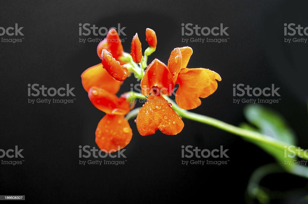 Scarlet Runner Bean Bloom stock photo