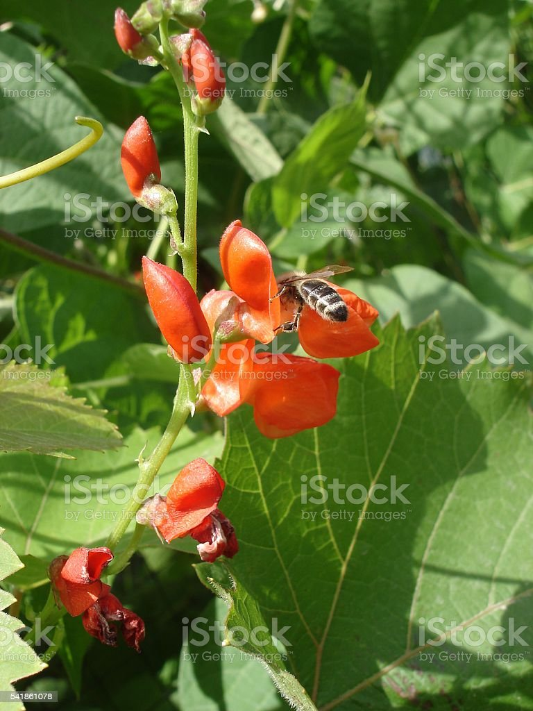 Scarlet runner bean flowers with bee stock photo
