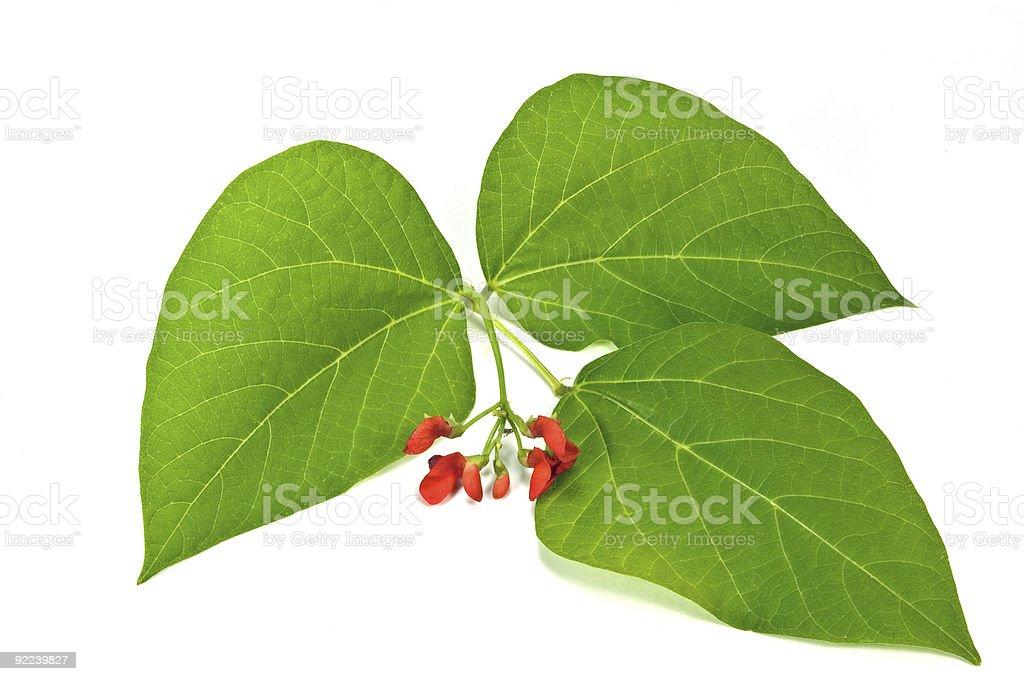 Scarlet runner bean leaf and flower stock photo