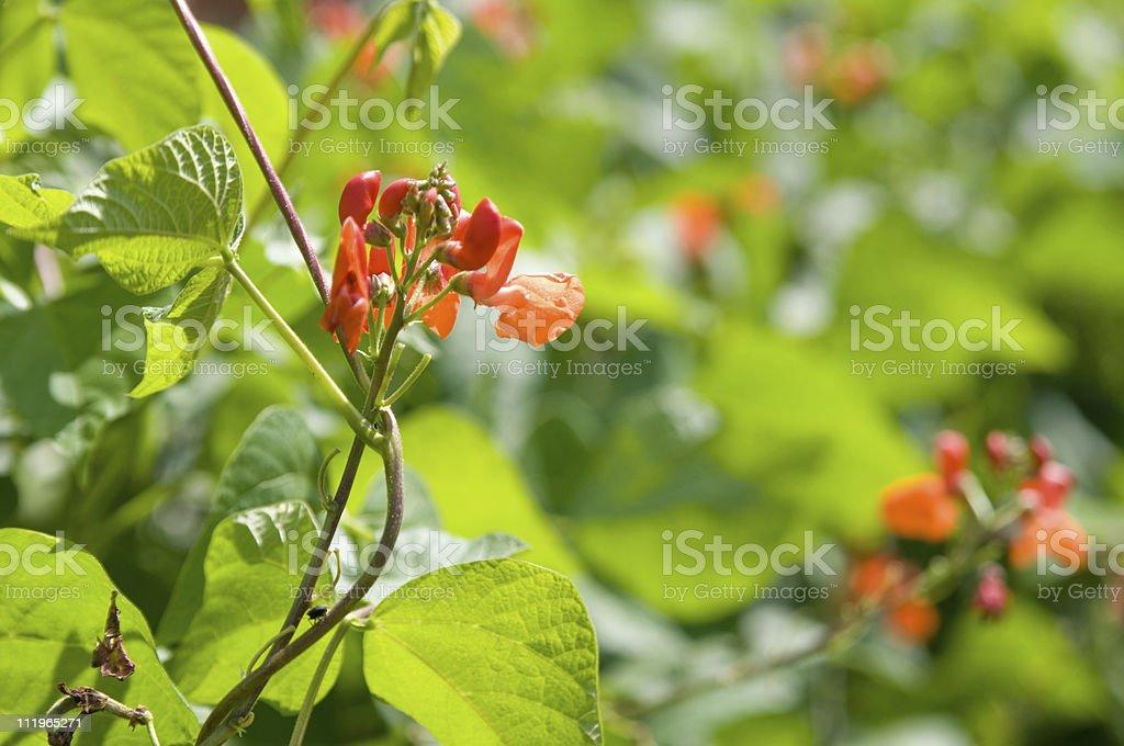 scarlet runner bean plant stock photo