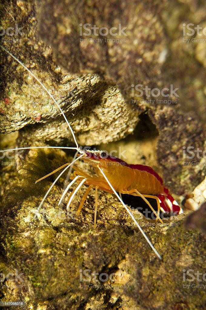 Scarlet Skunk Cleaner Shrimp in Aquarium stock photo
