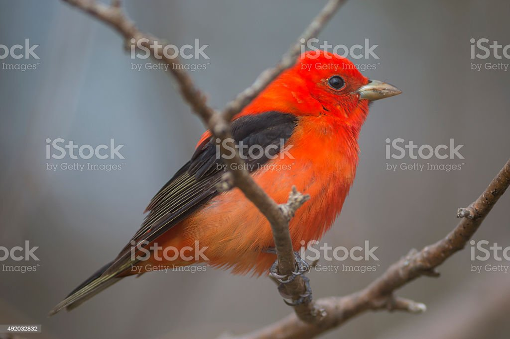 Scarlet Tanager bird close-up on a tree stock photo