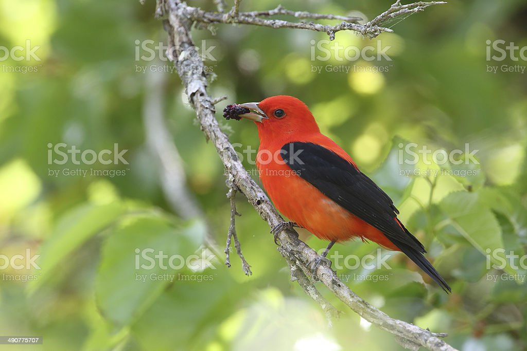 Scarlet Tanager Eating a Mulberry stock photo