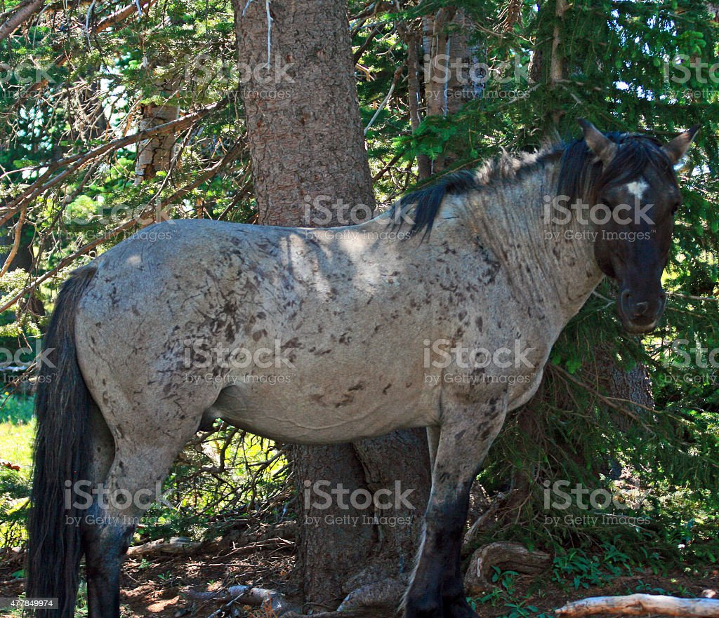 Scarred up Gray Wild Horse Mustang Stallion Pryor Mountains stock photo