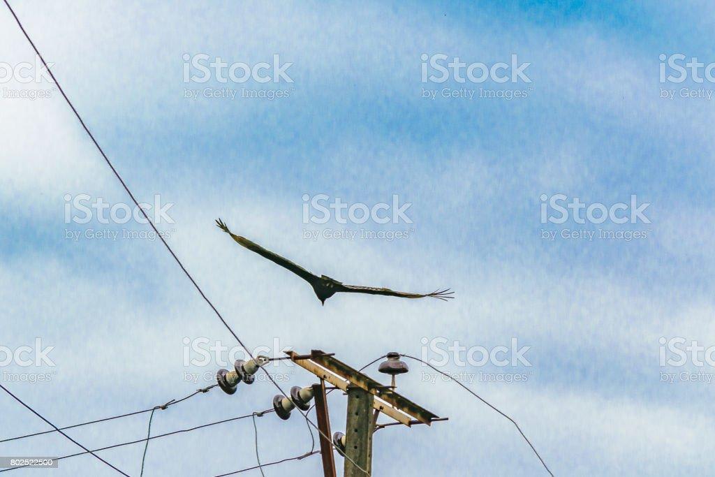 Scarvenger Bird Flying stock photo