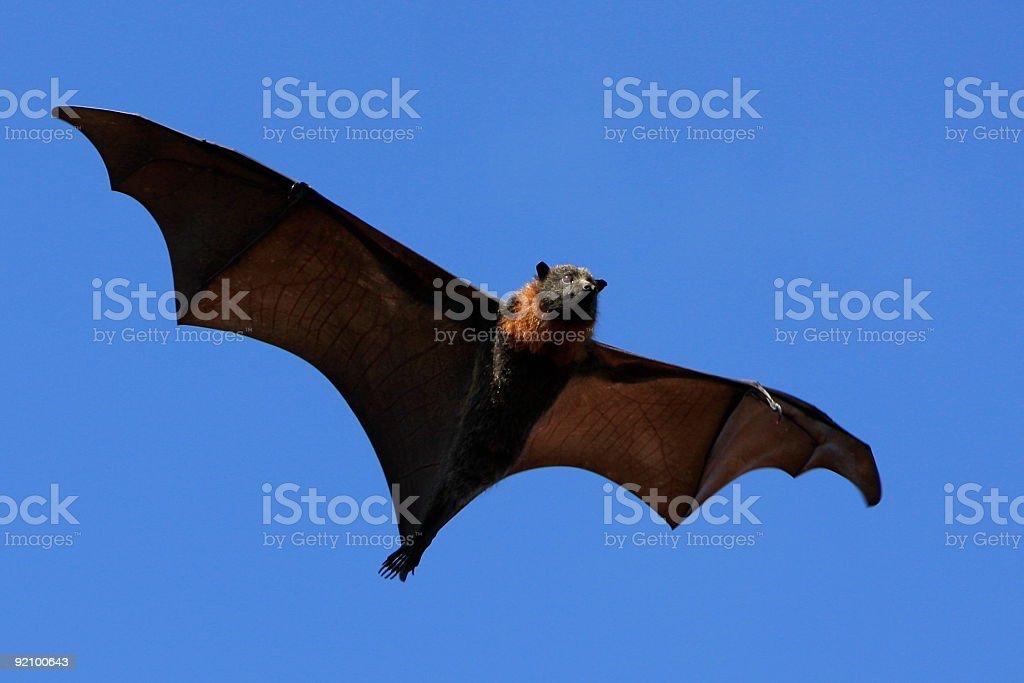 Scary Flying Fox stock photo