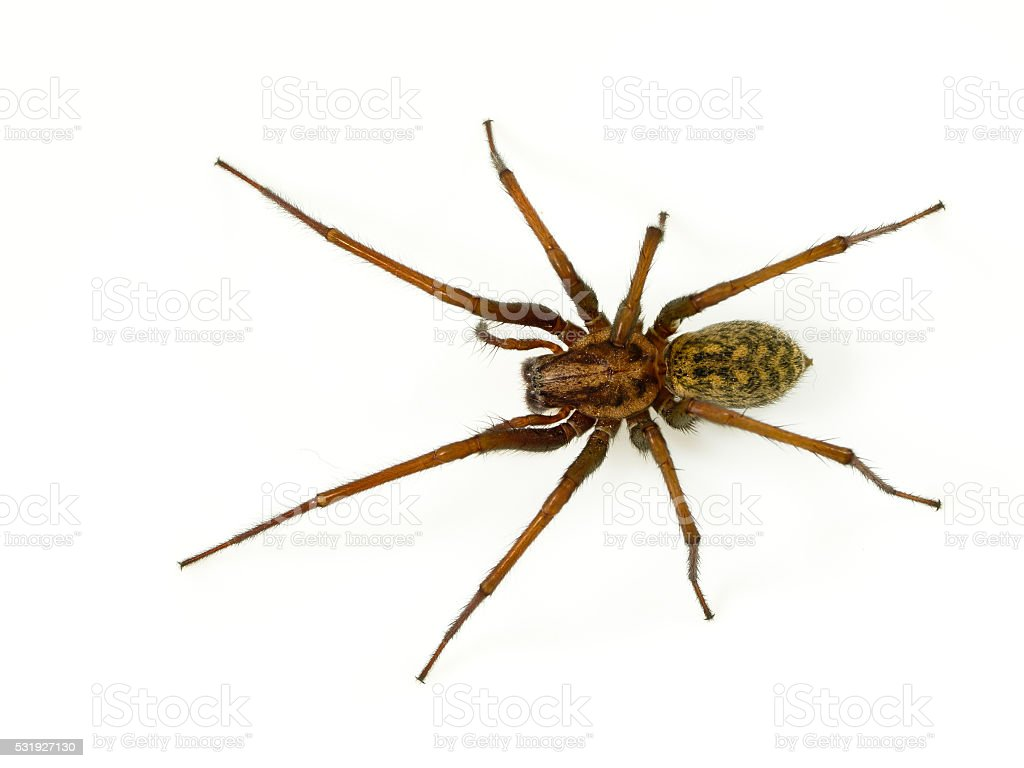 Scary funnel web spider stock photo