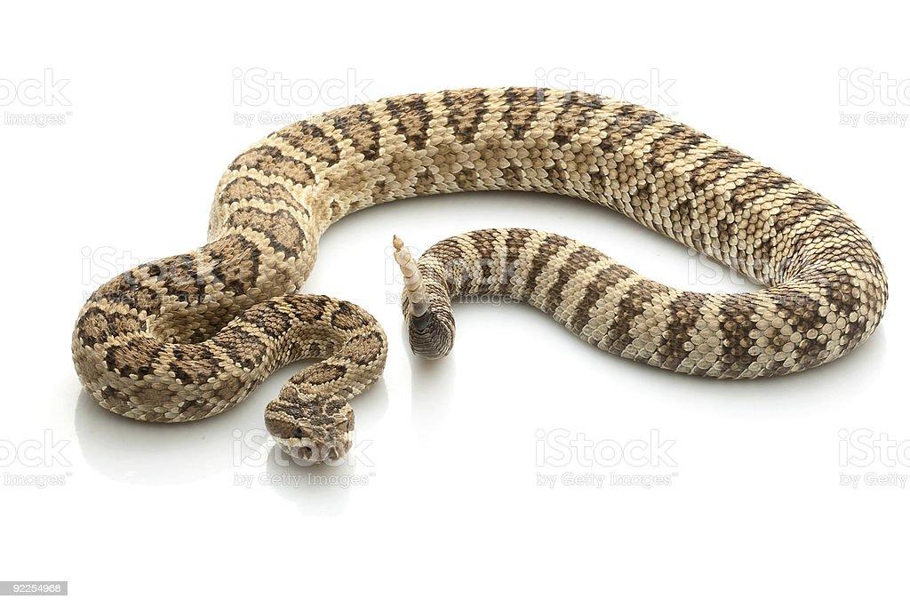 A scary Great Basin Rattlesnake stock photo