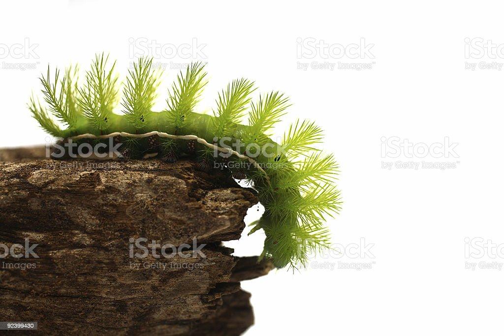 Scary Green Caterpillar royalty-free stock photo