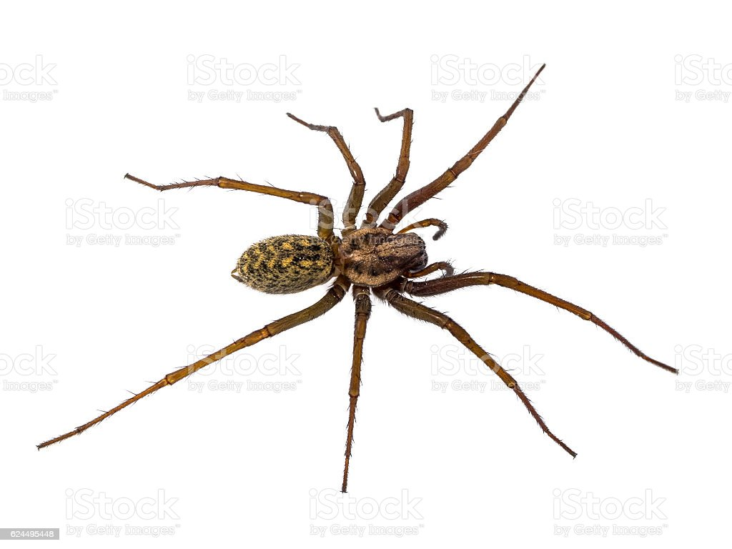 Scary House spider isolated on white stock photo