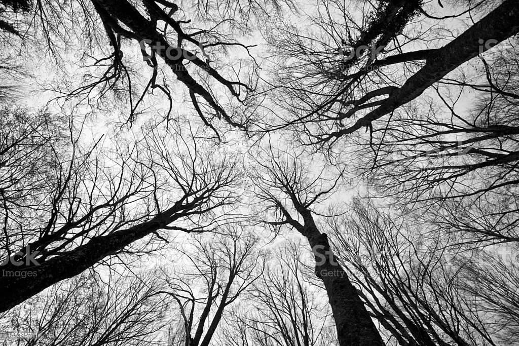 Scary Trees in Forest royalty-free stock photo