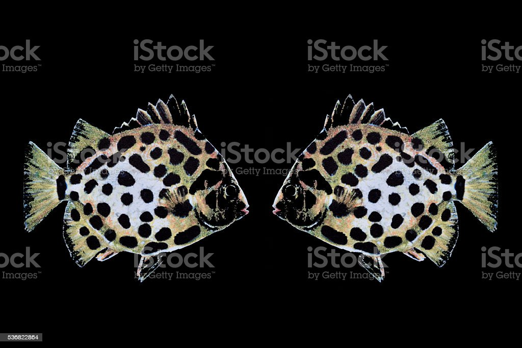 Scatophagus Argus painted on black stock photo