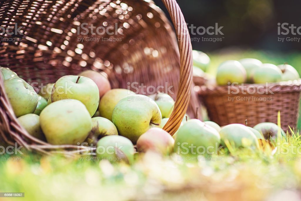 scattered basket of ripe green apples. summer mood. Part of wedding decor. stock photo