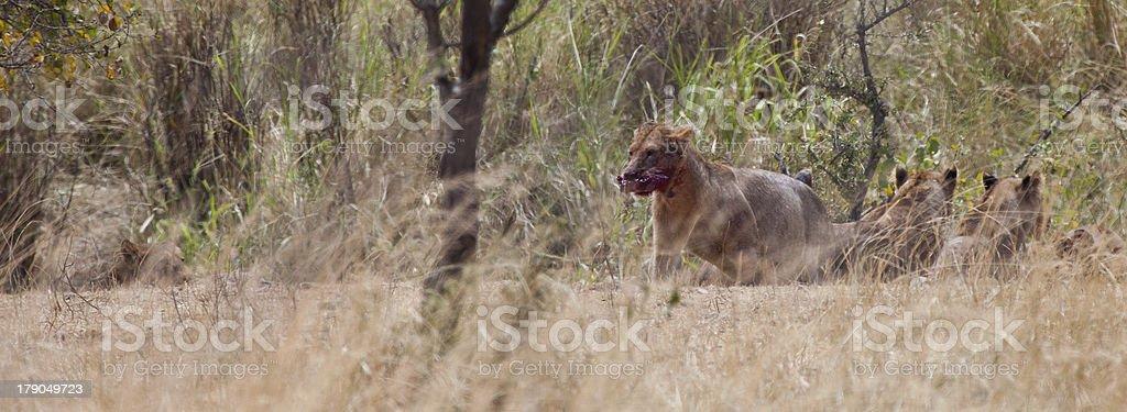 Scavenger Lion stock photo