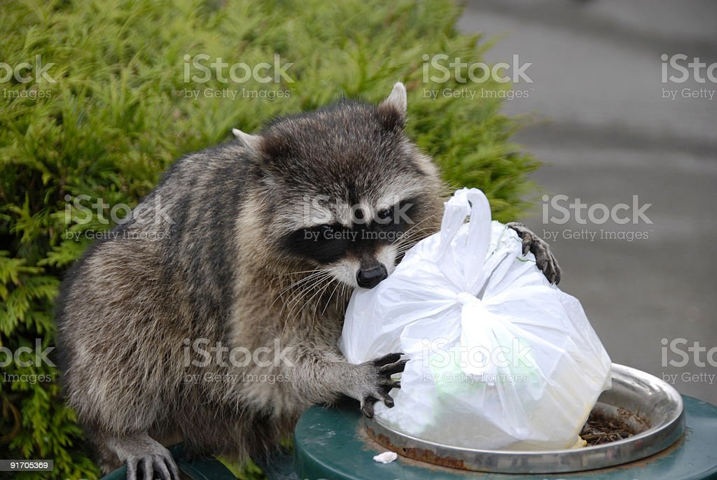 Scavenging Raccoon stock photo