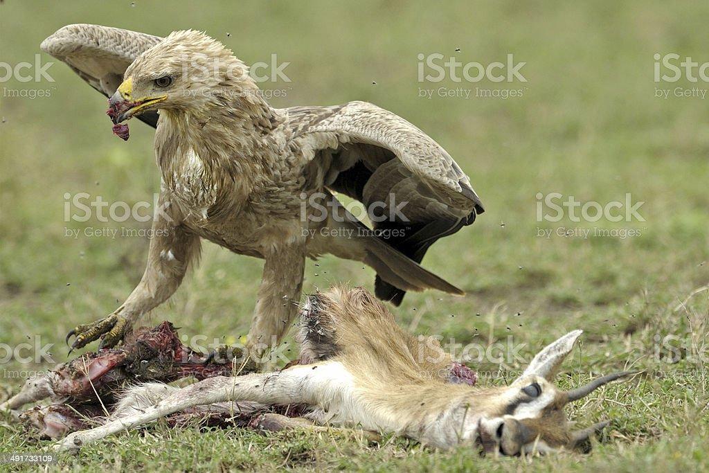 Scavenging Tawny eagle stock photo