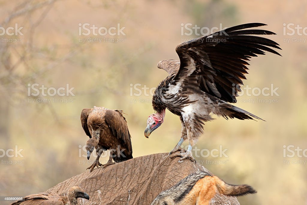Scavenging vultures stock photo