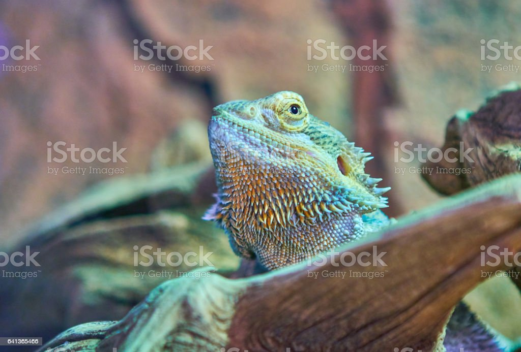 Sceloporus clarkii stock photo