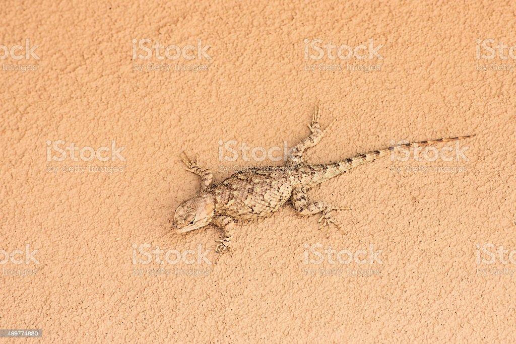 Sceloporus magister Desert Spiny Lizard Reptile stock photo