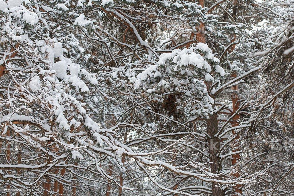 Scene of beautiful deep winter pine forest stock photo