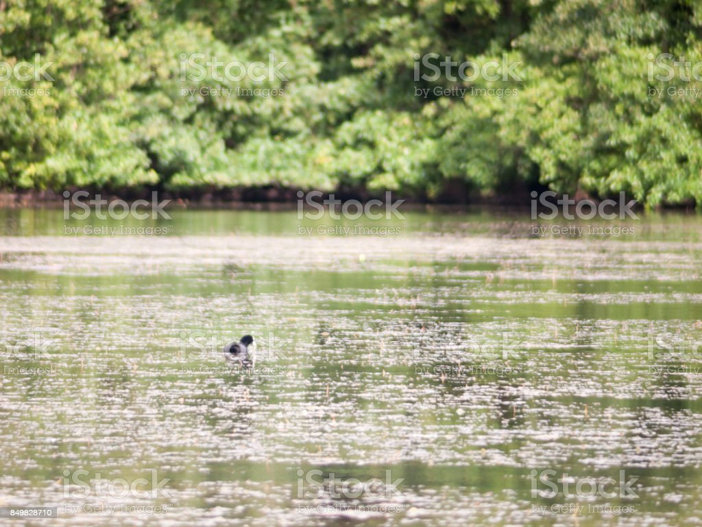 scene with coot on the surface of the water swimming behind looking stock photo