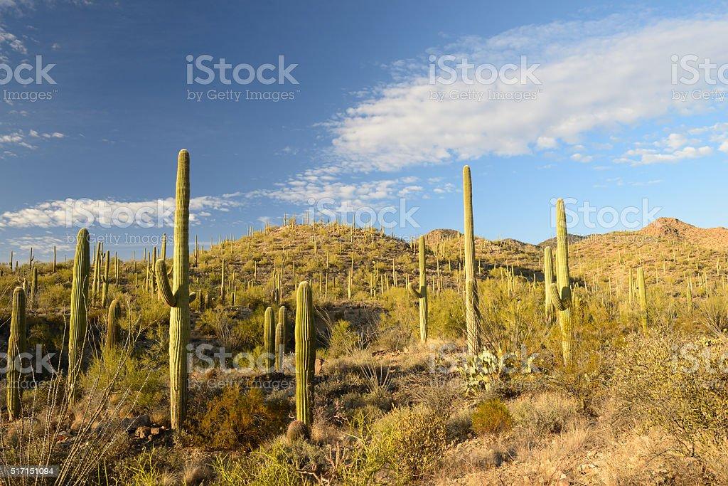 Scenery at Saguaro National Park stock photo