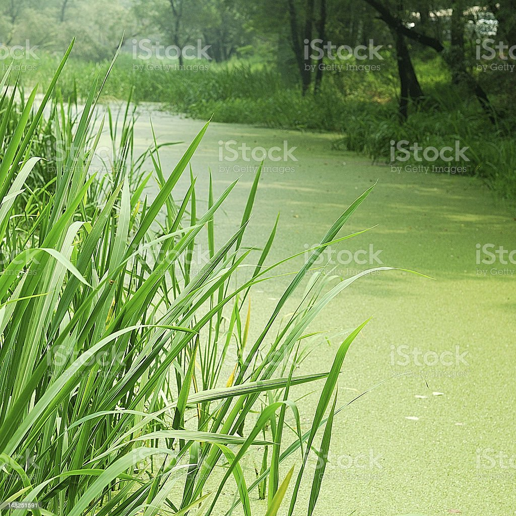 Scenery with forest and water plants royalty-free stock photo