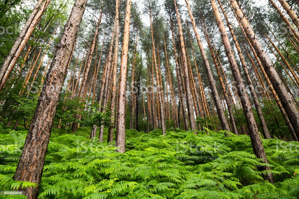 Scenic background of spring ferns in a pine forest stock photo