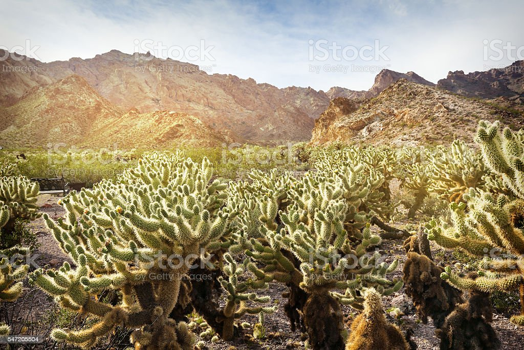 Scenic desert with Cholla cactus in southern Nevada stock photo