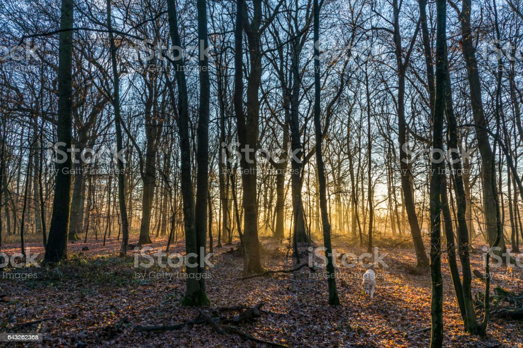 scenic oak forest in sun stock photo