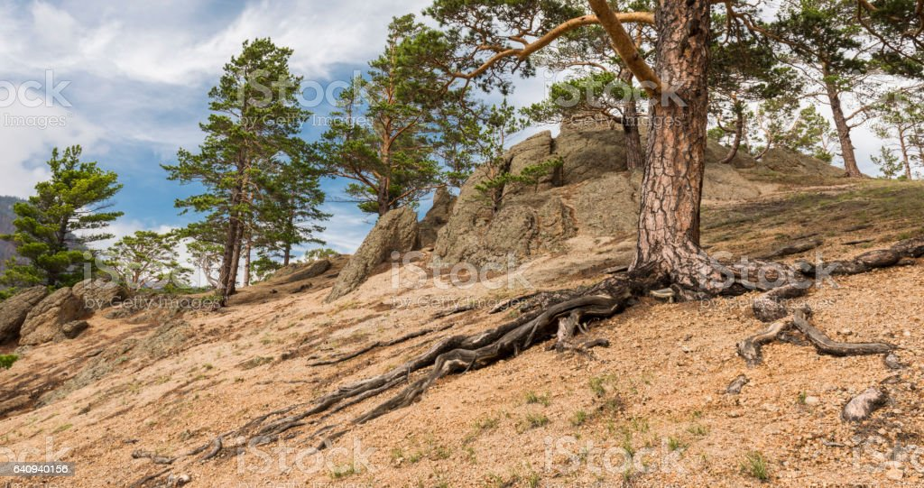 Scenic roots of the big pines stock photo